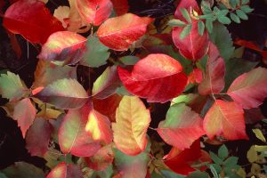 Fall red color of poison oak leaves