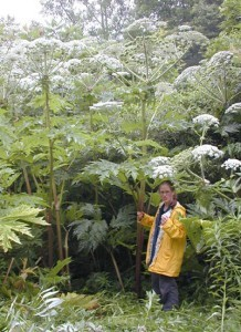 Giant hogweed's sap can cause severe phytophotodermatitis